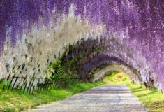 The Great Wisteria Flower Arch, Kawachi Fuji Garden, Kitakyūshū, Japan – Most Beautiful Picture  ...