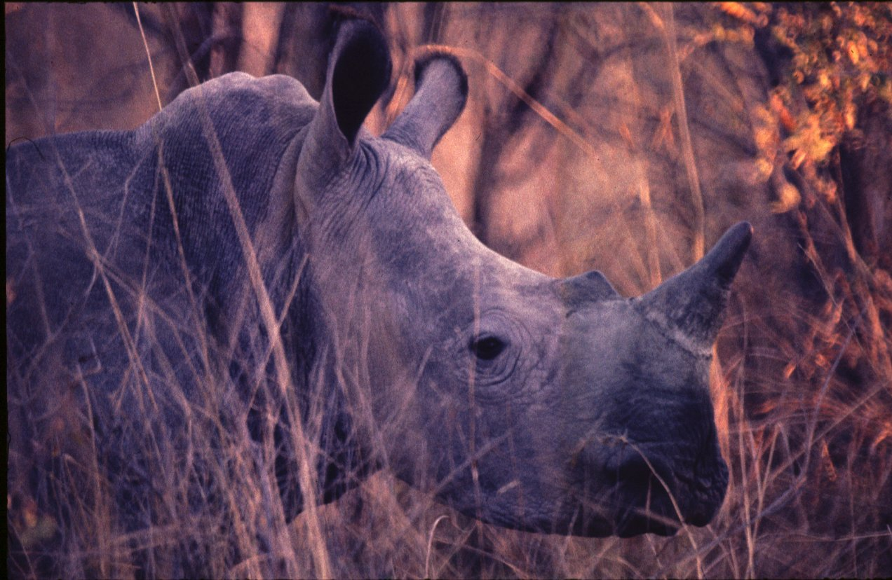 White rhinoceros head