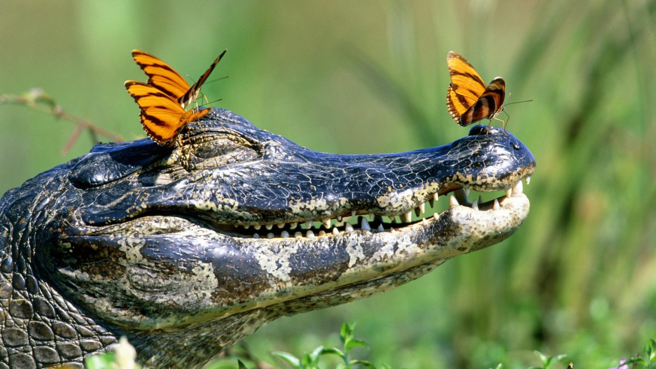 Alligator and butterfly – Most Beautiful Picture of the Day: May 7, 2017 – Most Beautiful Picture