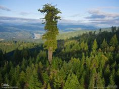 Hyperion, tallest tree in the World