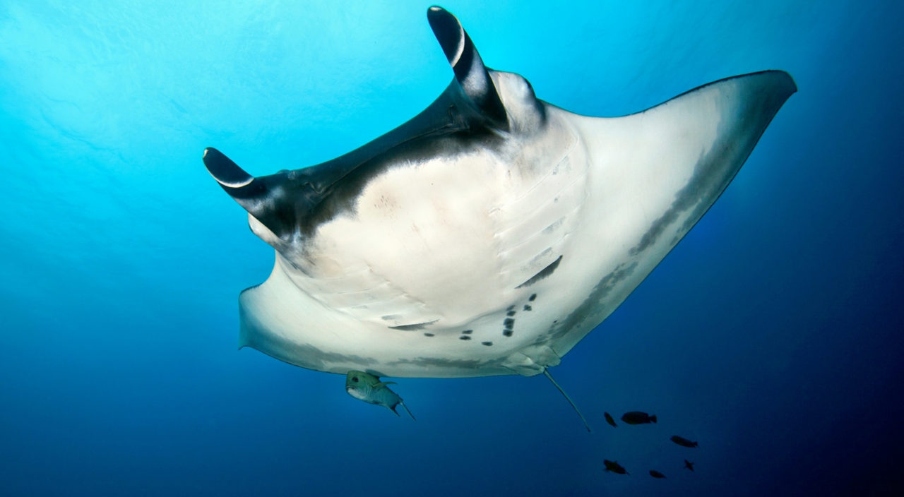 Manta Ray, Revillagigedo Islands, Mexico – Most Beautiful Picture of the Day: May 30, 2017 – Mos ...