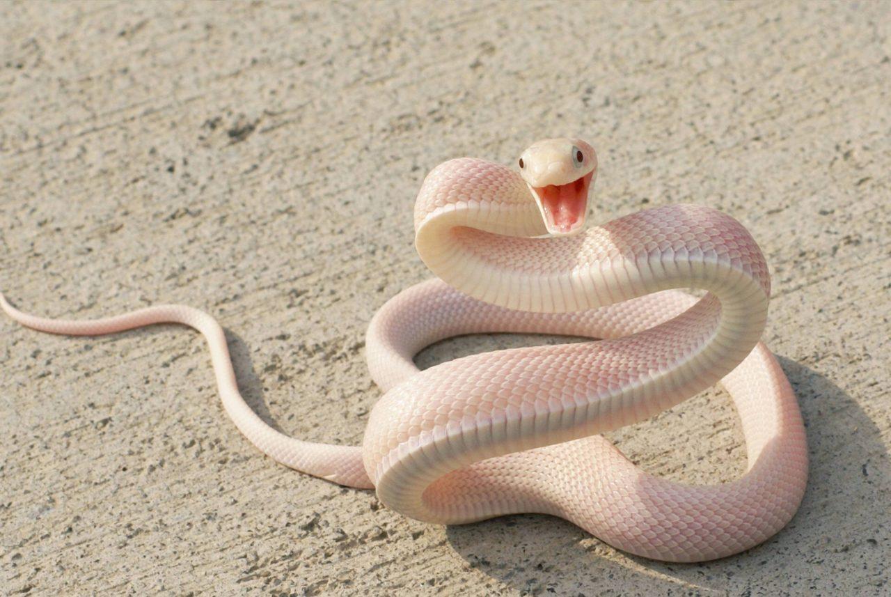 Baby White Snake