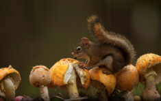 A squirrel on mushrooms