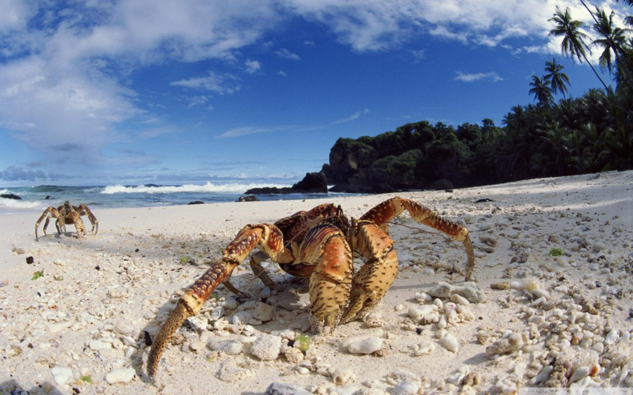 Coconut Crab on Christmas Island, Australia