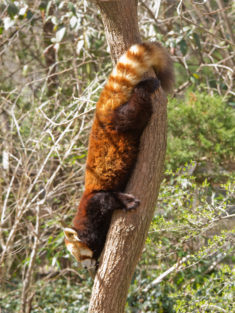 Red Panda descending a tree head first
