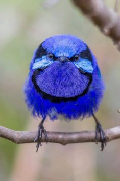Splendid Fairywren (Malurus splendens) in Australia by Terry Booth.