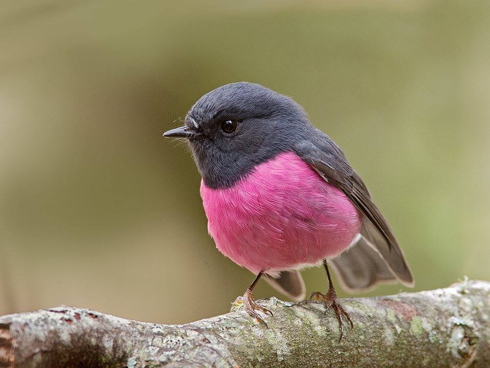 Pink Robin (Petroica rodinogaster) in Tasmania by Tim Collins
