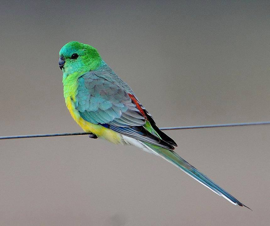 Red-rumped Parrot (Psephotus haematonotus) in Australia by Warren Palmer. Red-rumped Parrot (Pse ...