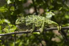 Common chameleon, Greece