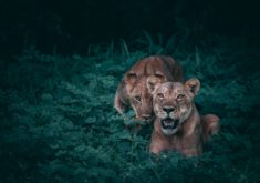 Lionesses – Most Beautiful Picture of the Day: September 5, 2017 – Most Beautiful Picture