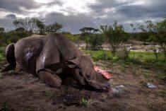 Black rhinoceros dead – Most Beautiful Picture of the Day: October 23, 2017 – Most Beautif ...
