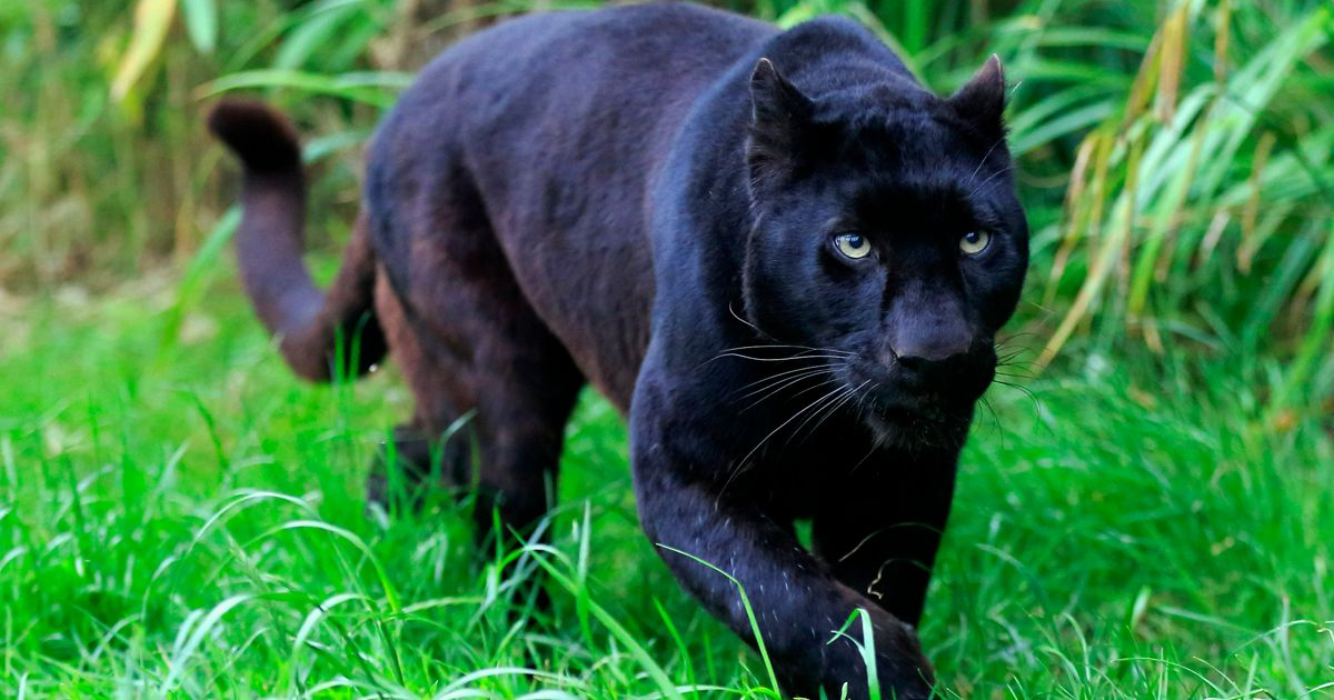 Is there a black panther loose in the countryside?