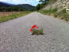 Common Poppy fighting the asphalt, Luberon, France – Most Beautiful Picture of the Day: October  ...