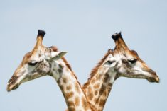 Giraffes crossing heads – Most Beautiful Picture of the Day: October 12, 2017 – Most Beaut ...
