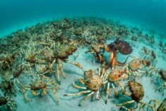 Spider crab procession, Australia – Most Beautiful Picture of the Day: October 28, 2017 –  ...