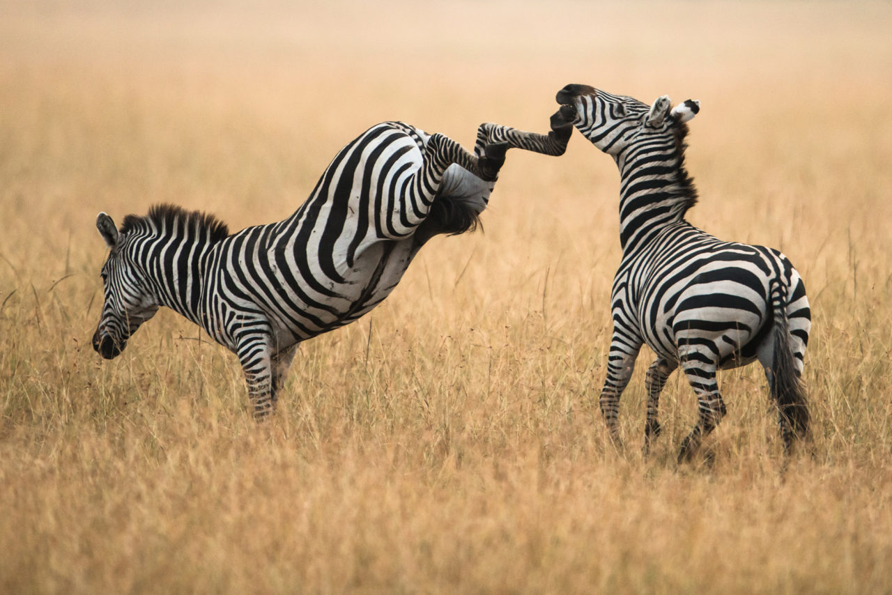Zebra fighting – Most Beautiful Picture of the Day: October 17, 2017 – Most Beautiful Picture
