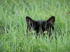 Cat Stalks in the Grass