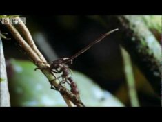 Cordyceps: attack of the killer fungi – Planet Earth Attenborough BBC wildlife – YouTube