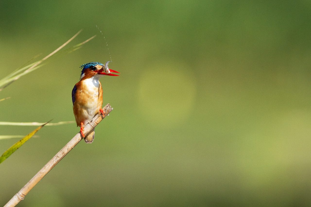 Bird, kingfisher, Kruger National Park, South Africa