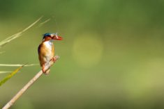 Bird, kingfisher, Kruger National Park, South Africa