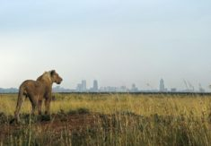 Lion, Nairobi National Park, Kenya – Most Beautiful Picture of the Day: November 29, 2017 – ...