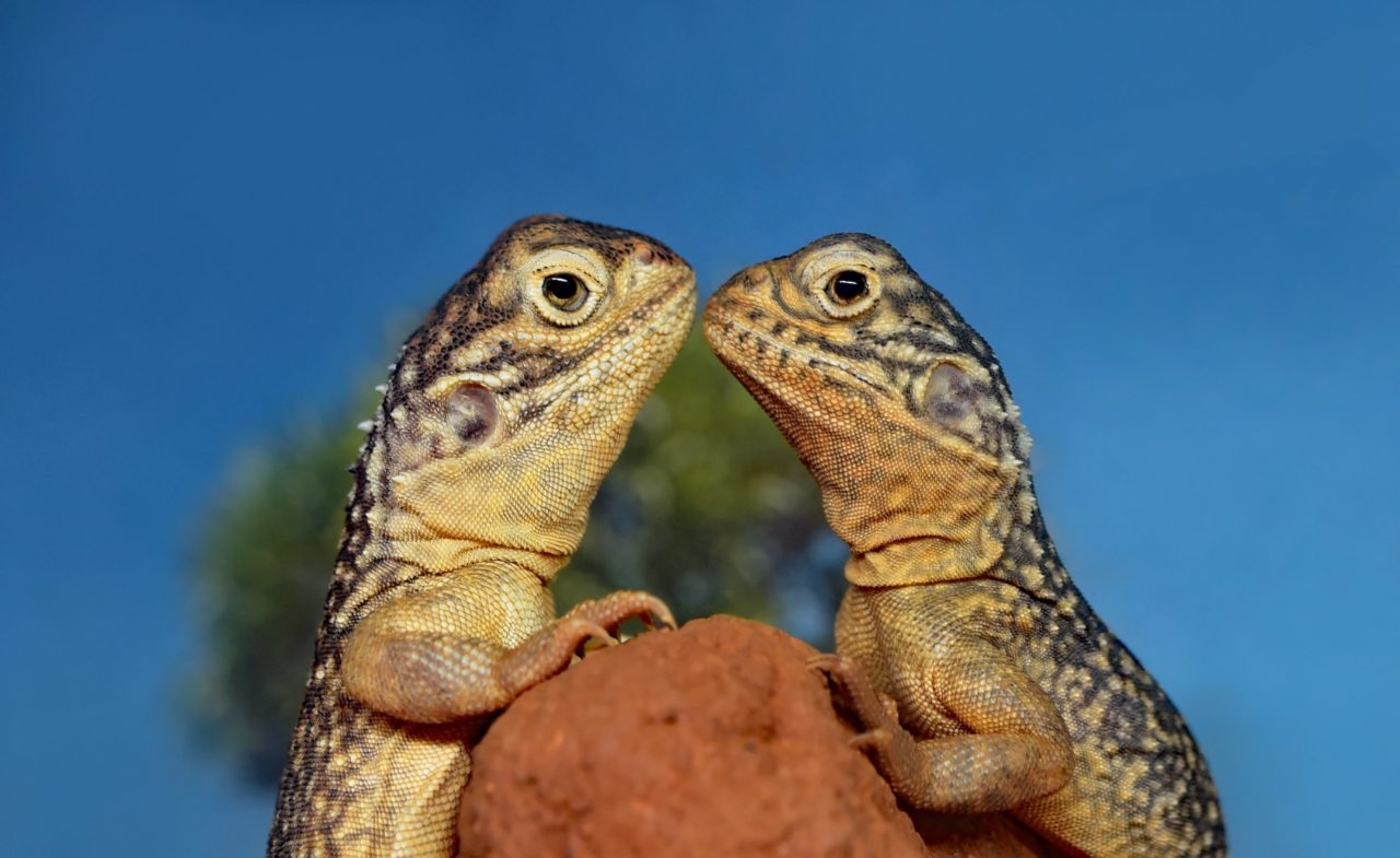 Netted dragons on the top of a termite mound
