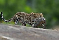 Leopard hunting Monitor Lizard