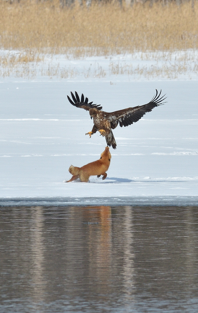 Fox and eagle fighting