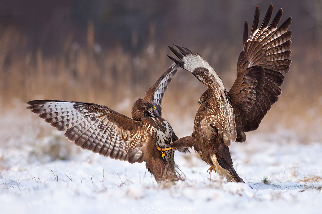 Buzzard fighting