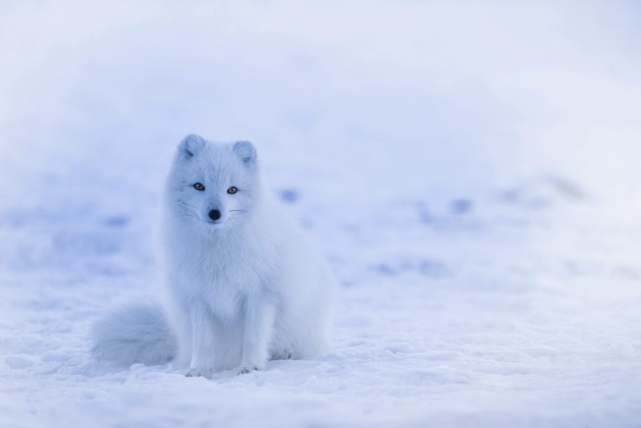 Fox, Iceland