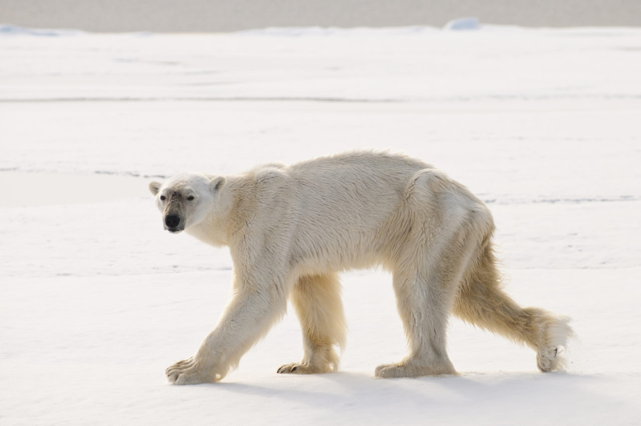 Skinny Polar Bear – Most Beautiful Picture of the Day: December 13, 2017 – Most Beautiful  ...