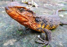 Vietnamese Crocodile Lizard