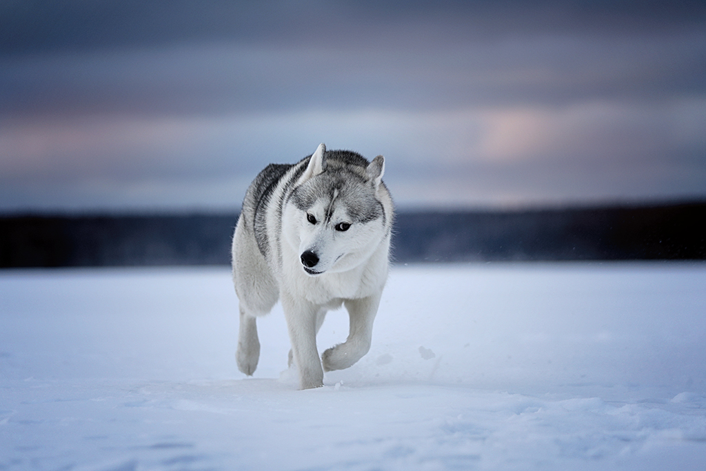 Dog or wolf?