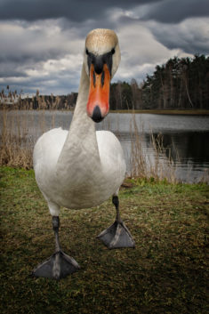 Goose close-up