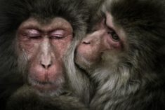 Macaques couple – Most Beautiful Picture of the Day: January 1, 2018 – Most Beautiful Picture