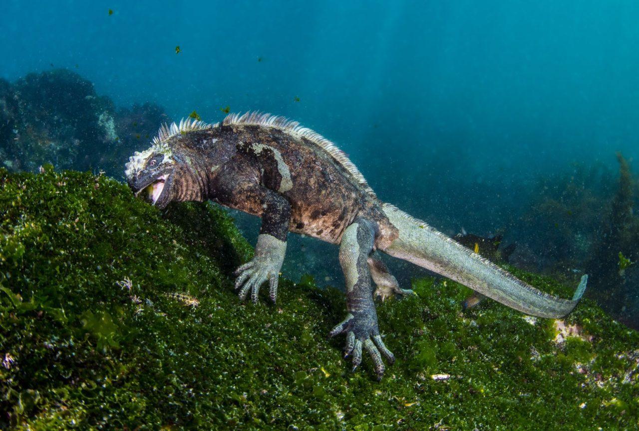 Marine iguana, Galapagos – Most Beautiful Picture