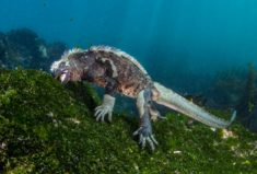 Marine iguana, Galapagos – Most Beautiful Picture