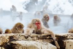 Snow Monkey Niseko, Kutchan-chō, Japan