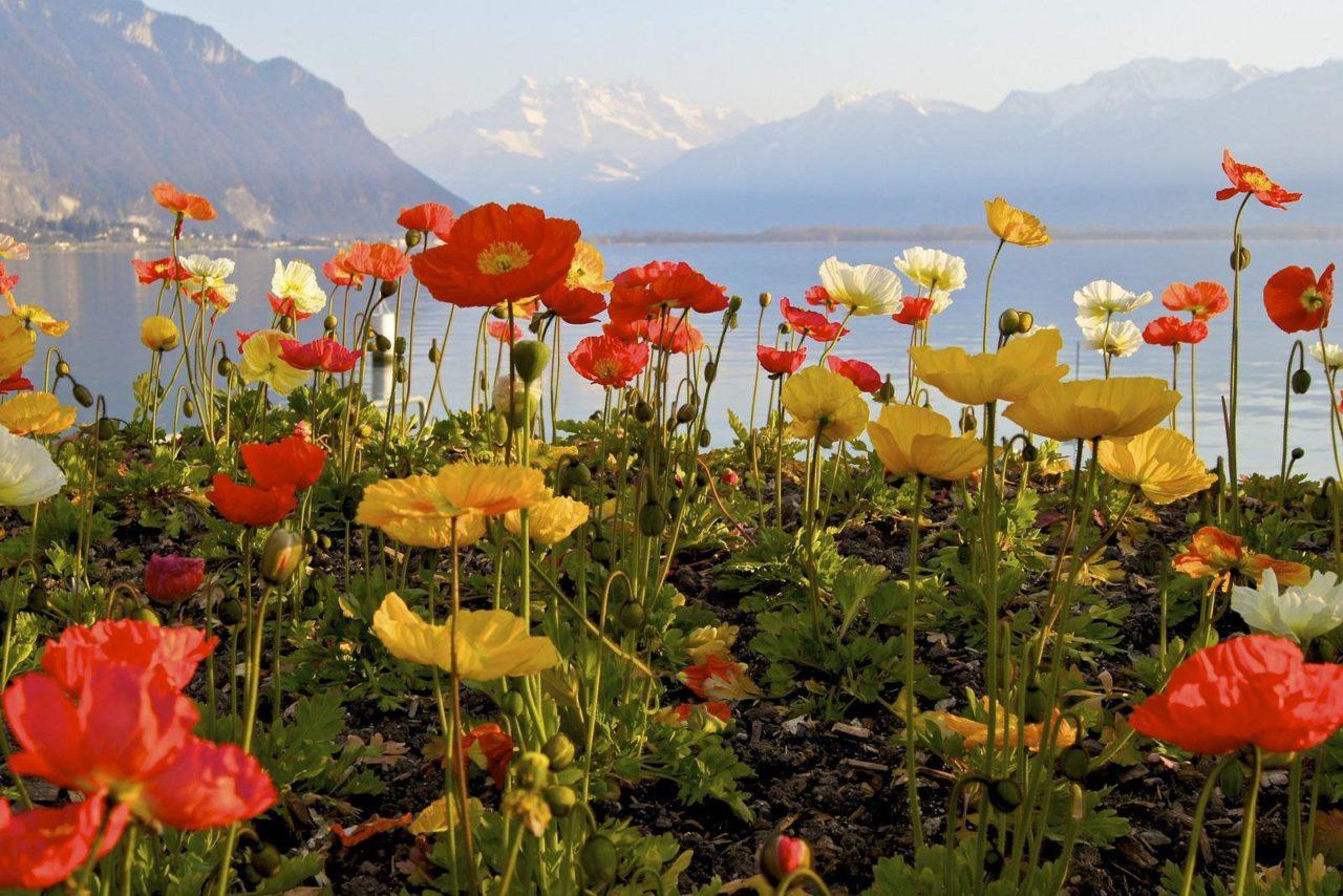 Flowers over the Lake Leman, Switzerland