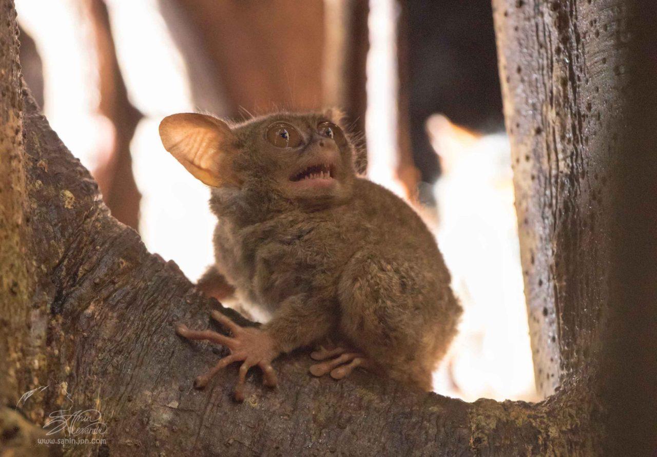 Tarsier (owl monkey)