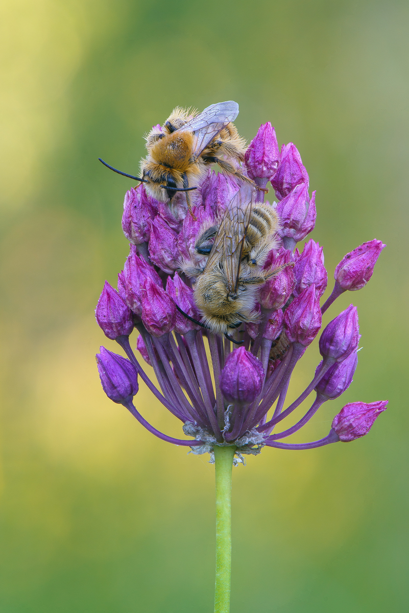 Bees on a flower