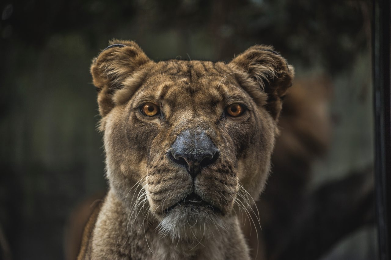 Lioness – Most Beautiful Picture