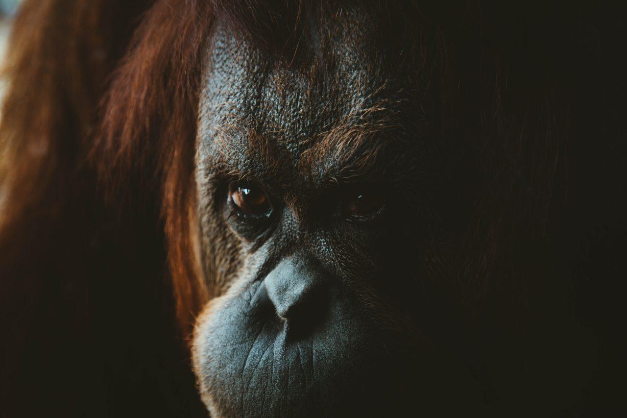 Orangutan is watching you – Most Beautiful Picture