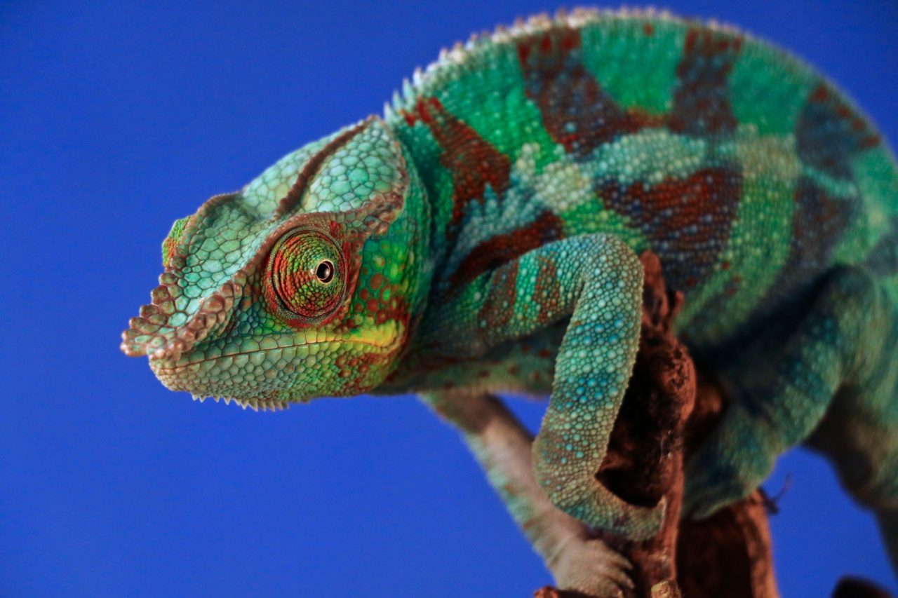Panther Chameleon, Madagascar – Most Beautiful Picture