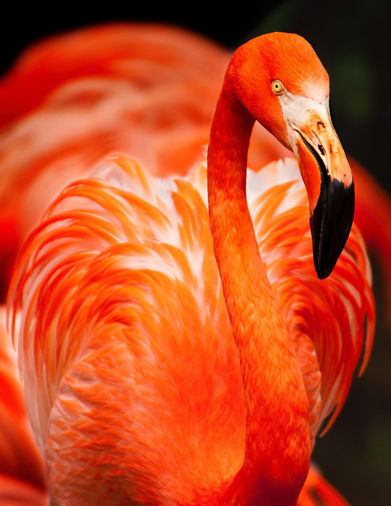 Pink Flamingo – Most Beautiful Picture