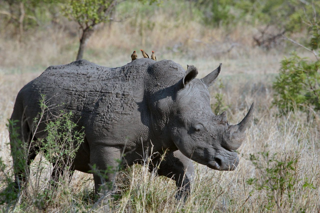 Rhinoceros, Kruger Park, South Africa – Most Beautiful Picture