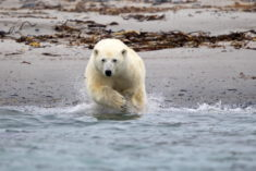 Polar bear, Spitsbergen, Svalbard, Norway