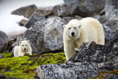 Polar bear and cub, Spitsbergen, Svalbard, Norway