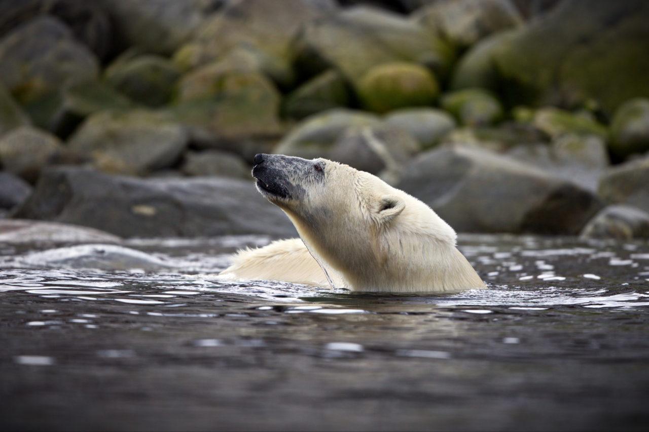 Polar bear, Spitsbergen, Svalbard, Norway
