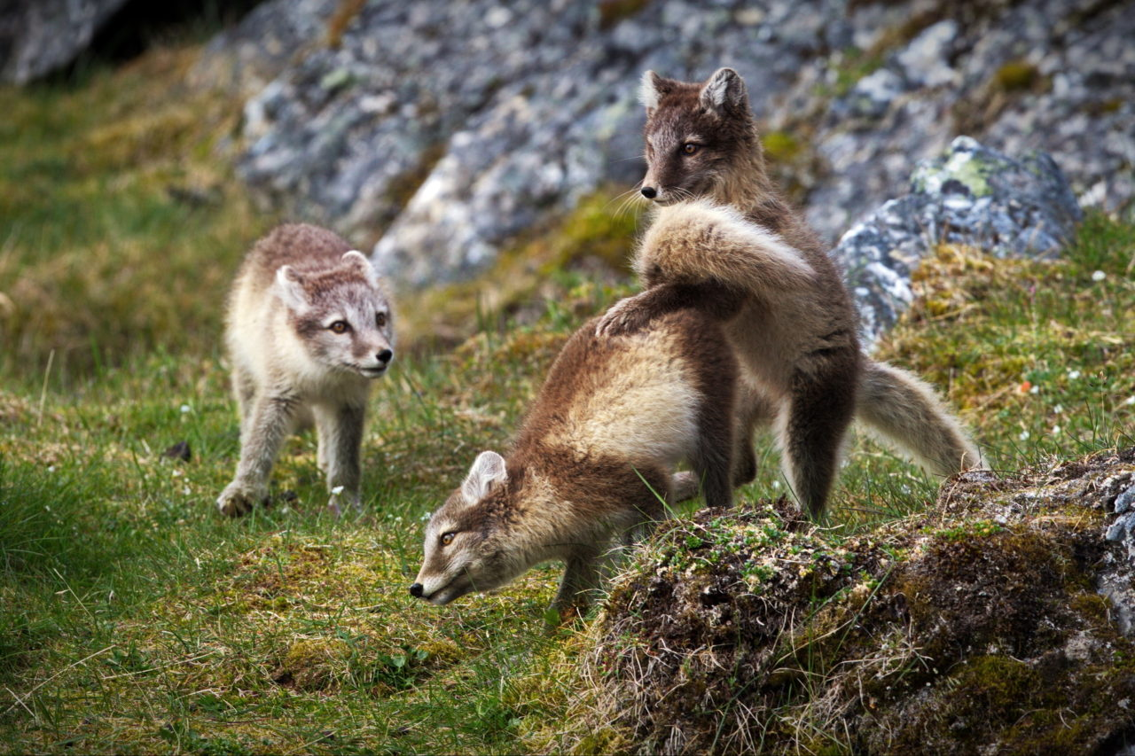 Young arctic foxes